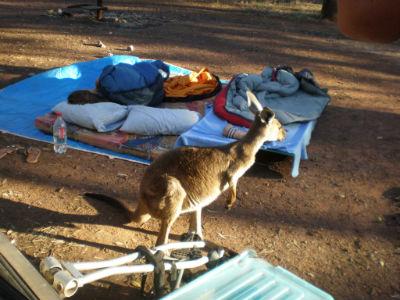 kangaroo-zu-besuch